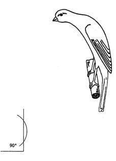 نژاد های قناری معرفی قناری هوسو ژاپنی japanese hoso قناری هوسو ژاپنی قناری ژاپنی قناری جدید قناری آسیایی قناری عکس هوسو عکس قناری سایت قناری پرورش قناری japanese hoso canary image canary