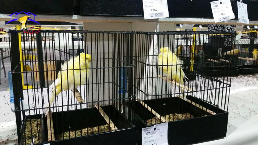 نمایشگاه قناری کشور کانادا نمایشگاه قناری کانادا نمایشگاه قناری قناری عکس های نمایشگاه های خارجی قناری عکس های نمایشگاه قناری کشور کانادا عکس های نمایشگاه قناری Annual national cage bird show
