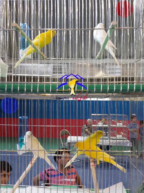 نمایشگاه قناری ساوه نمایشگاه قناری تهران نمایشگاه بین المللی قناری ساوه نمایشگاه قناری عکس های نمایشگاه قناری ساوه مهر 95 عکس های نمایشگاه قناری ساوه 95 عکس های دومین دوره نمایشگاه ساوه عکس نمایشگاه های قناری عکس قناری تصاویر نمایشگاه قناری ساوه