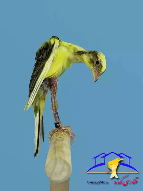 معرفی قناری قناری جیرالدیلو قناری جدید قناری اسپانیایی قناری giraldillo قناری عکس قناری سایت قناری استاندارد قناری ها giraldillo canary