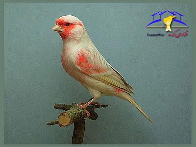 معرفی پرورش دهندگان قناری قناری موزاییکی قرمز قناری موزاییکی قناری موزاییک قناری کده قناری سایت قناری red mosaic canary red mosaic