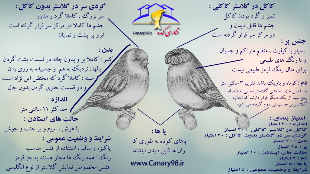 استاندارد قناری گلاستر در یک تصویر Standard Gloster Canary