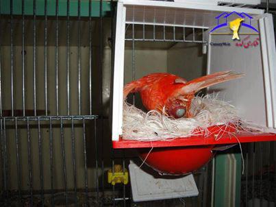 لحظه تخم گزاری قناری قناری سرخ قناری عکس قناری عکس تخم گزاری قناری خارج شدن تخم از قناری خارج شدن تخم از پس قناری تخم گذاری قناری تخم کردن قناری egg canary canary